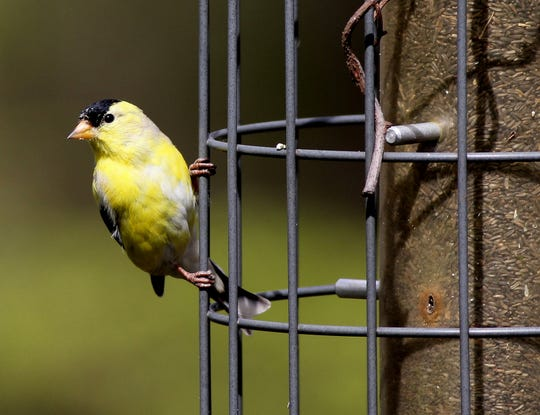New Jersey may lose its state bird to climate change, environmental report says